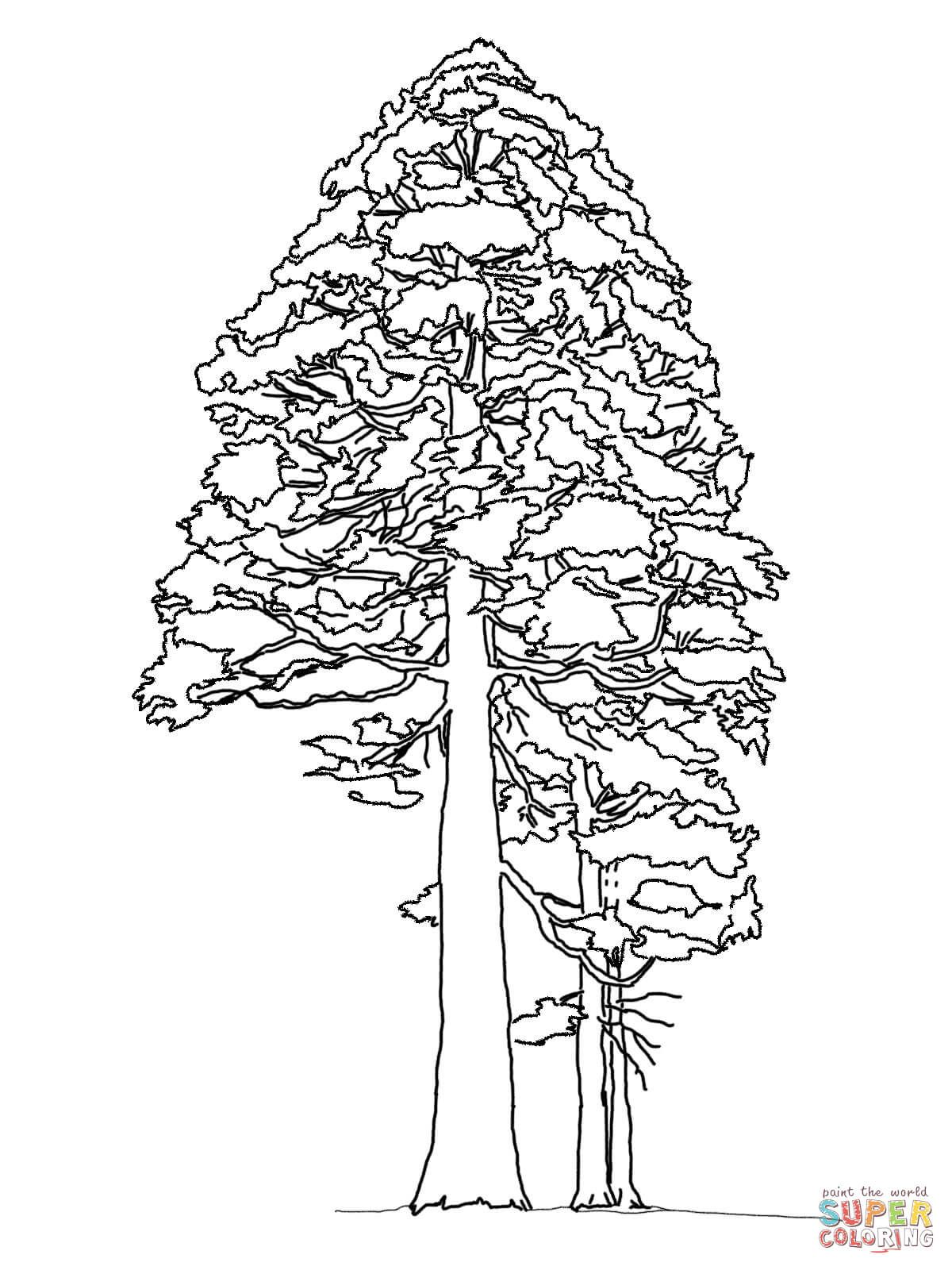 Giant Sequoia or Redwood coloring page Free Printable