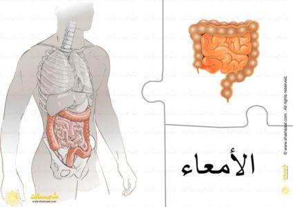 أعضاء الجسم الداخلية الأمعاء المعدة الكبد القلب الرئتين 6 Art Humanoid Sketch
