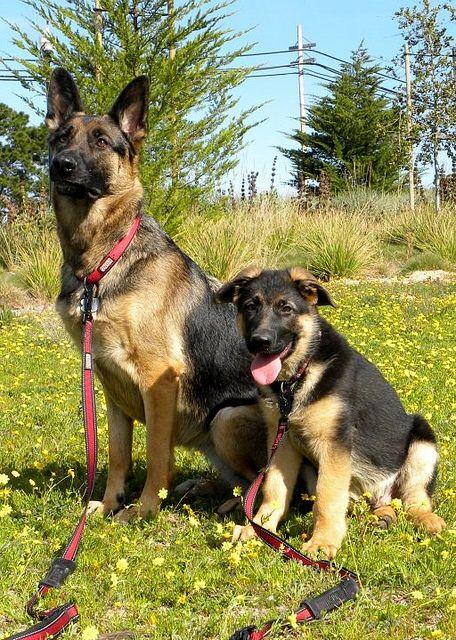 419929 2934977425747 399625735 N German Shepherd Dogs German