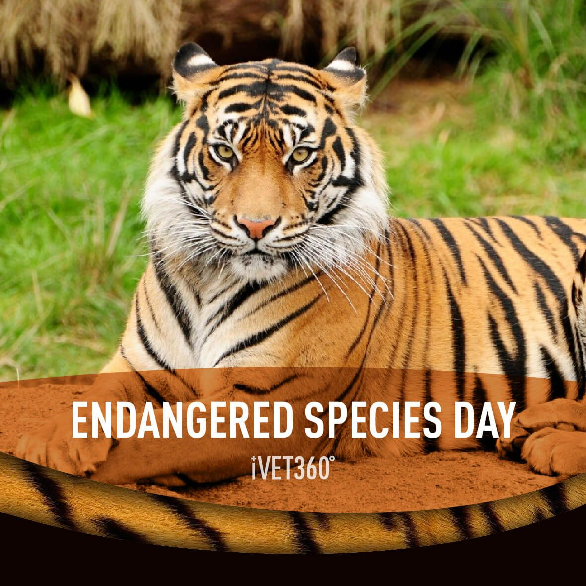 Endangered Species Day Tiger facts, Tiger facts for kids