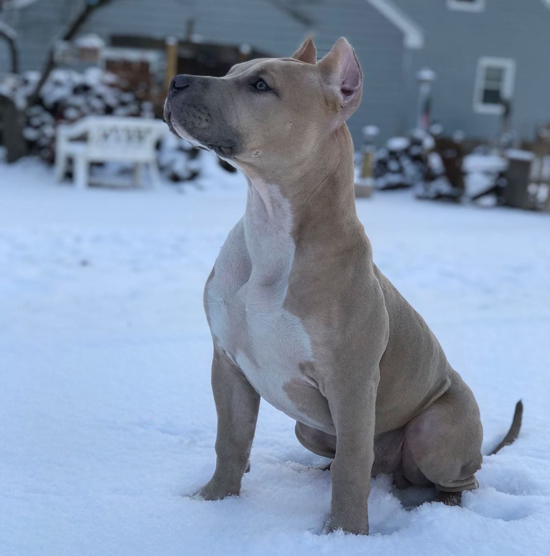 Draco Loves Romping Around In The Snow Xdp Ukc Apbt Draco Pitbull Puppy Pitbullpuppy Muscle Fit Dontbullym Beautiful Dogs Pitbull Pictures Pitbulls