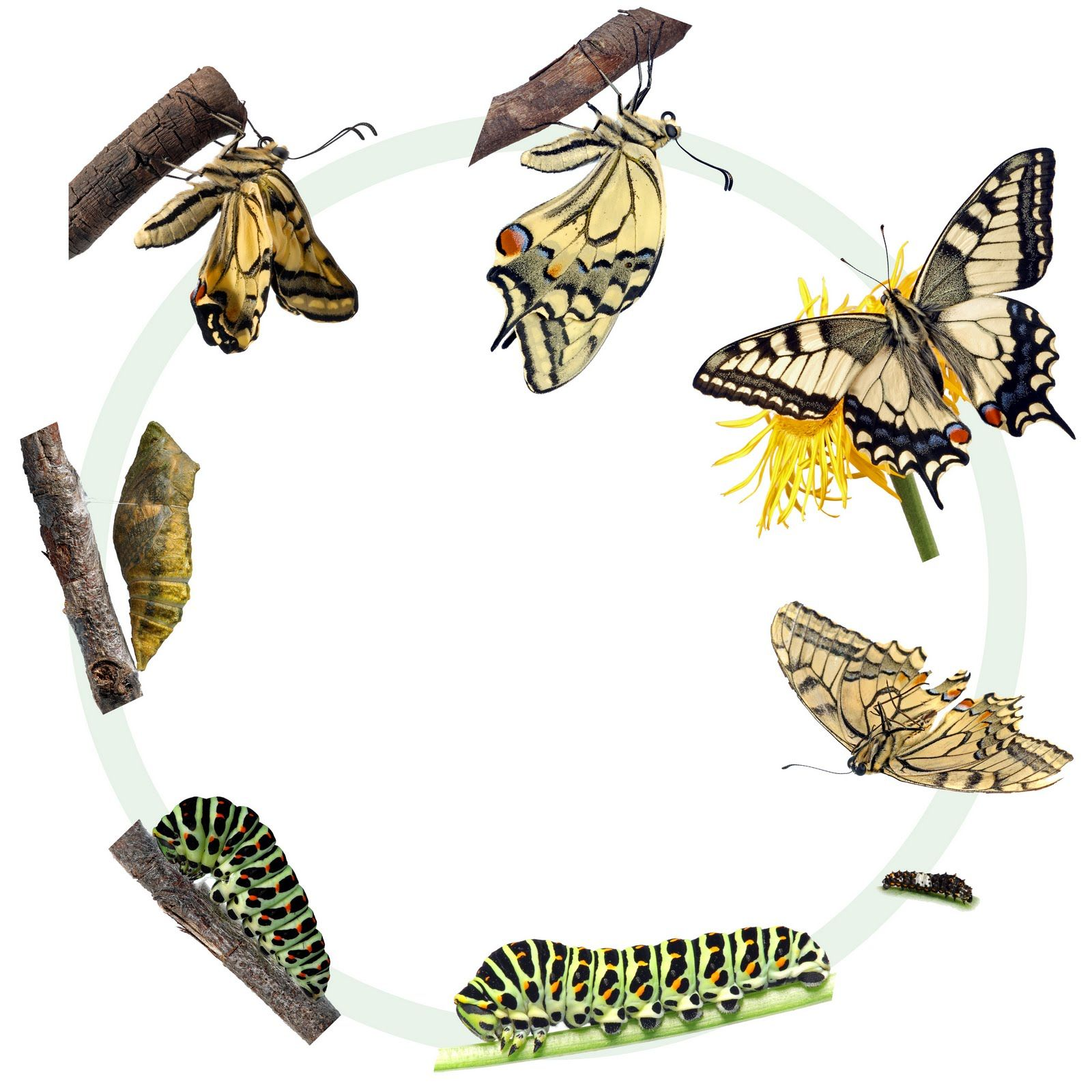 Characteristic Growth and Development; Butterflies go