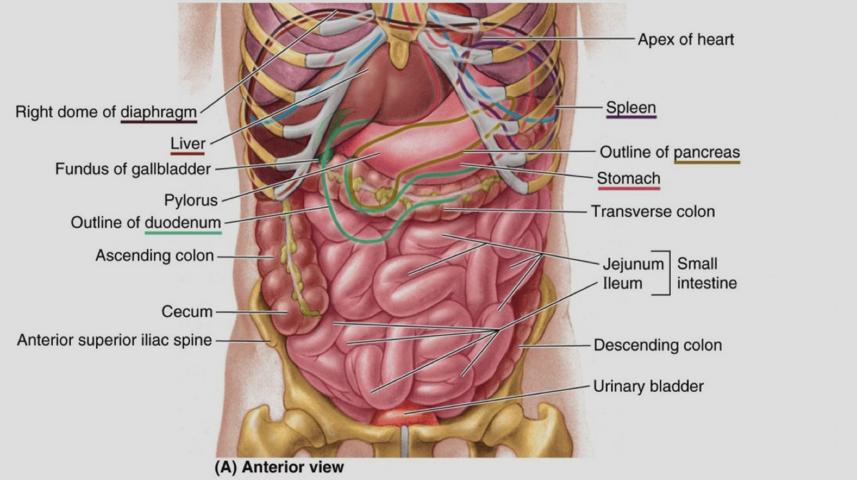 Major Organs In The Abdominal Cavity Elegant Of Human Abdominal