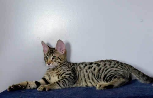 F6 Savannah Kittens Mentor Oh With Images Savannah Kittens