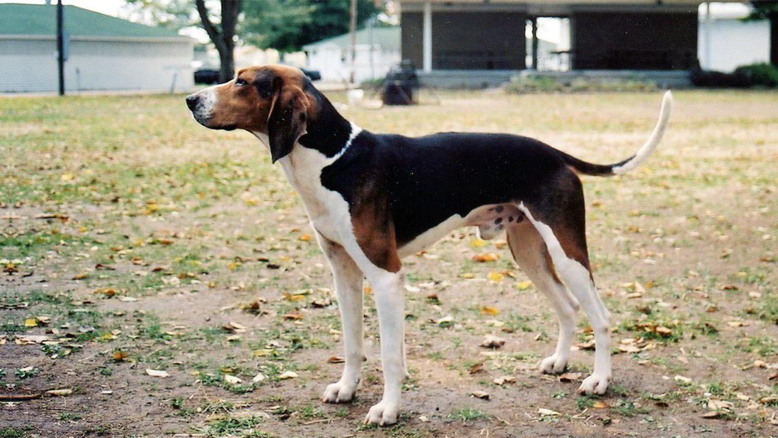 Beagle Hunting Google Search Beagle Hunting Cutest Dog Ever