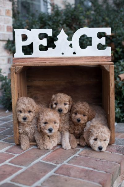 Mini Petite Goldendoodles Genetic Tested Copper Oaks Goldendoodles Goldendoodle Puppy For Sale Goldendoodle Goldendoodle Puppy