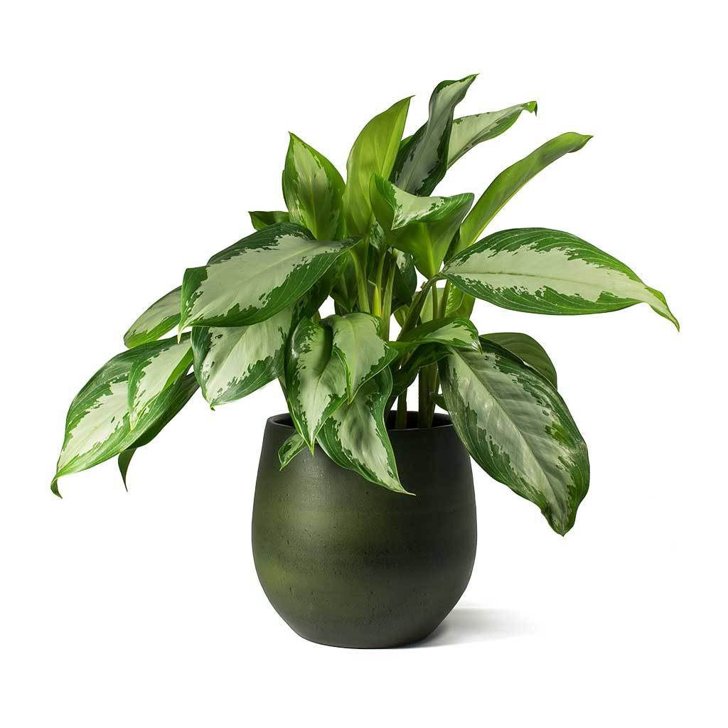 Esra Plant Pot Black Green In 2020 Plants Chinese Evergreen Indoor Plant Pots