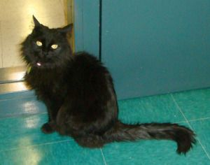 Kit Is An Adoptable Domestic Medium Hair Black Cat In Lakewood Co Hello My Name Is Kit I M A Sweet And Petite Little Girl Black Cat Cats Medium Hair Styles
