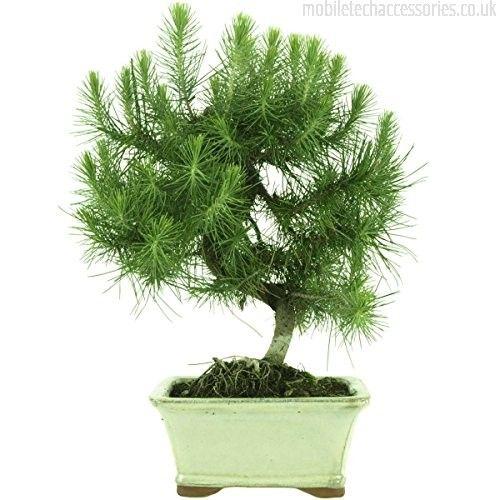 Image Result For Aleppo Pine Bonsai