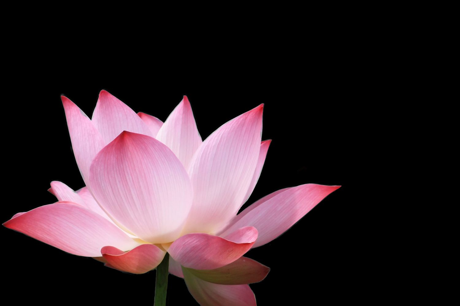 Order Isolated Lotus Wallpaper To Create Fantastic Wall Decor In