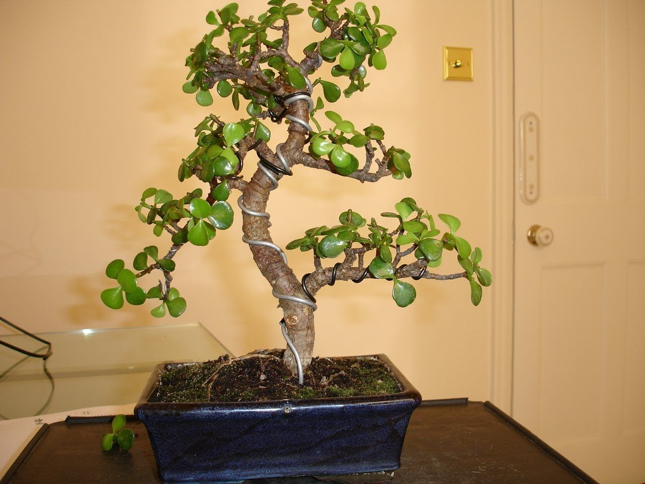 Bonsai Jade Wiring Pruning Jade Bonsai Jade Plant Bonsai Jade Plants