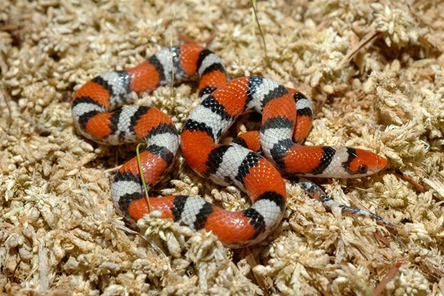 Snakes Batesian Mimicry In Snakes Coral Snakes And Scarlet King