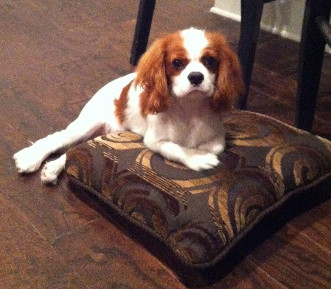 Securedownload1 Jpg 1 143 998 Pixels King Charles Cavalier Spaniel Puppy King Charles Puppy Cavalier King Charles Spaniel