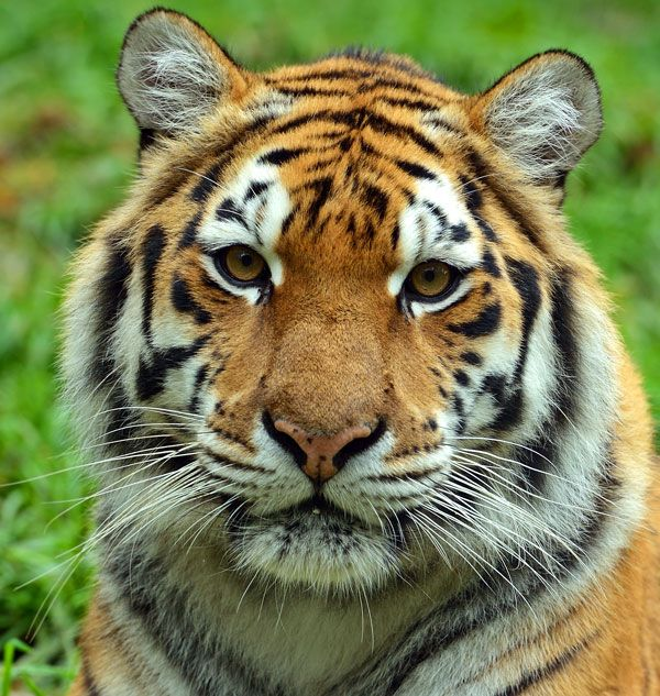 images of tiger faces tiger face all kinds of sports