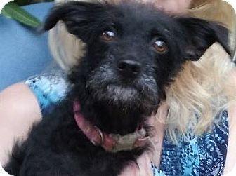Gilbert Az Cairn Terrier Poodle Miniature Mix Meet Annette