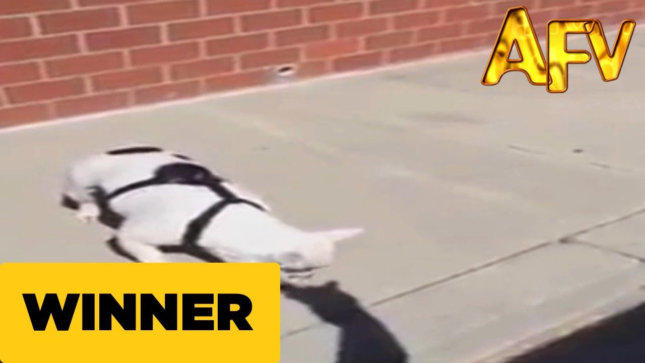 Dog Gets Into Argument With A Shadow Afv Winner Dogs Funny