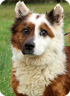 Glastonbury Ct Corgi Border Collie Mix Meet Ralphie A Dog For Adoption Corgi Corgi Mix Border Collie Mix