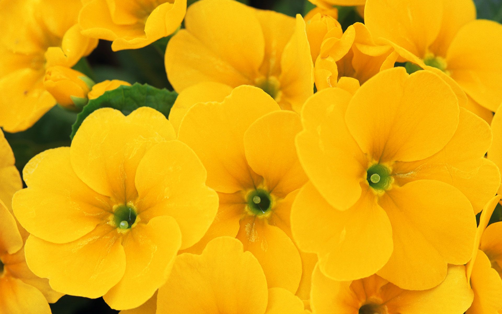 yellow flowers wallpaper #649486, flowers Photography Wallpapers
