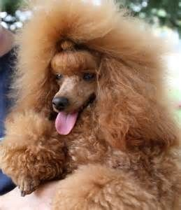 Champagne Poodles Yahoo Image Search Results Poodle Cute