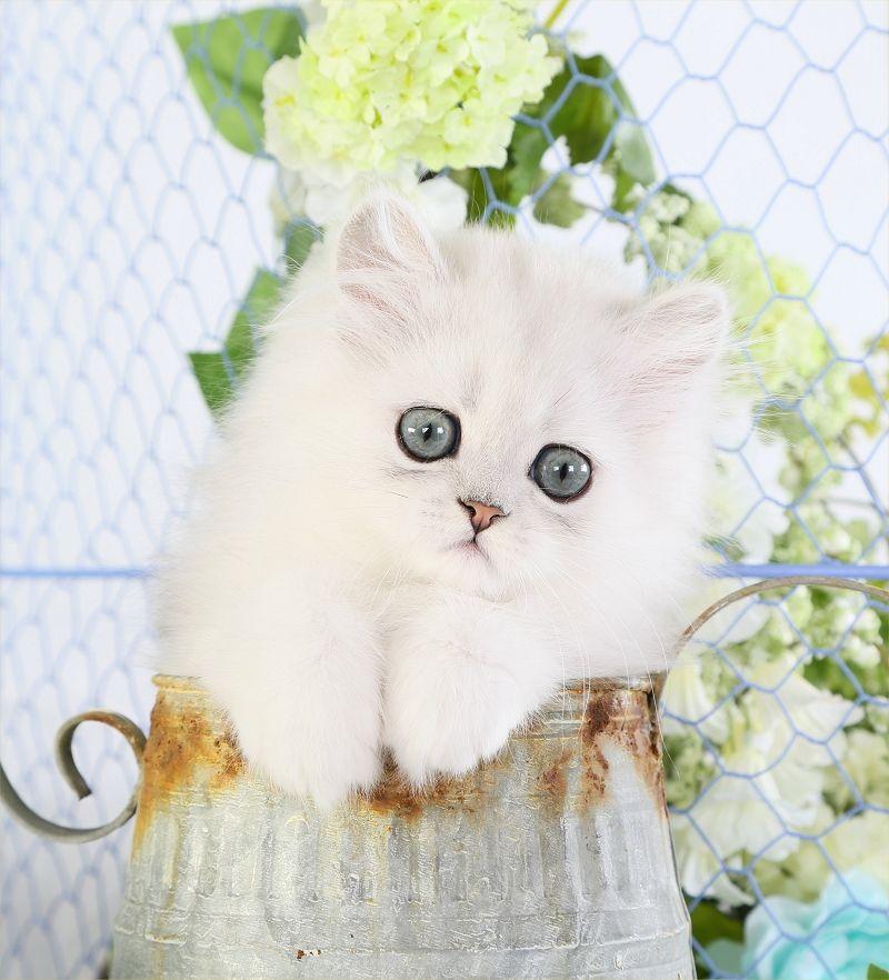 Past Kittens Persian Kittens Persian Cats For Sale Persian Cat