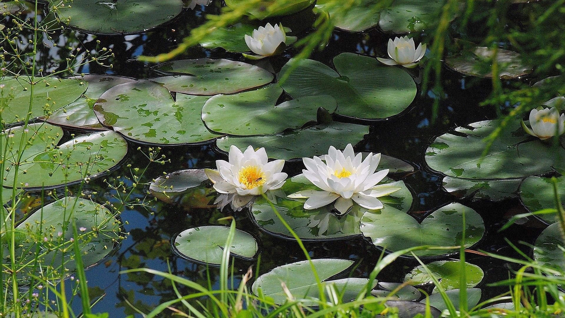Water Lily Wallpapers Hd Download Water Lilies Art Water Lily Pond Water Lilies Wallpaper lily white flower pond leaves