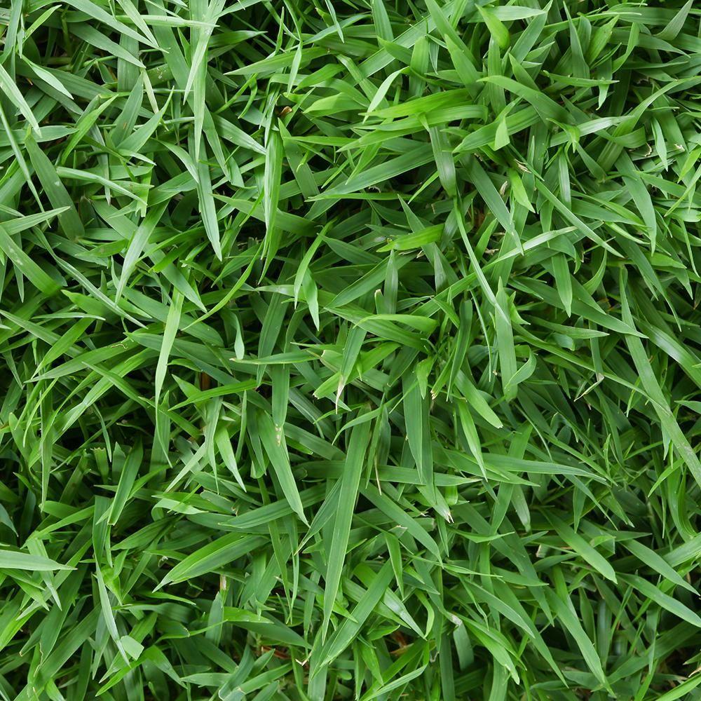 Harmony Zoysia Sod Plugs 36 Count Trays Hhzoysiatrays The Home Depot In 2020 Grass Plugs Zoysia Sod Grass Seed For Shade