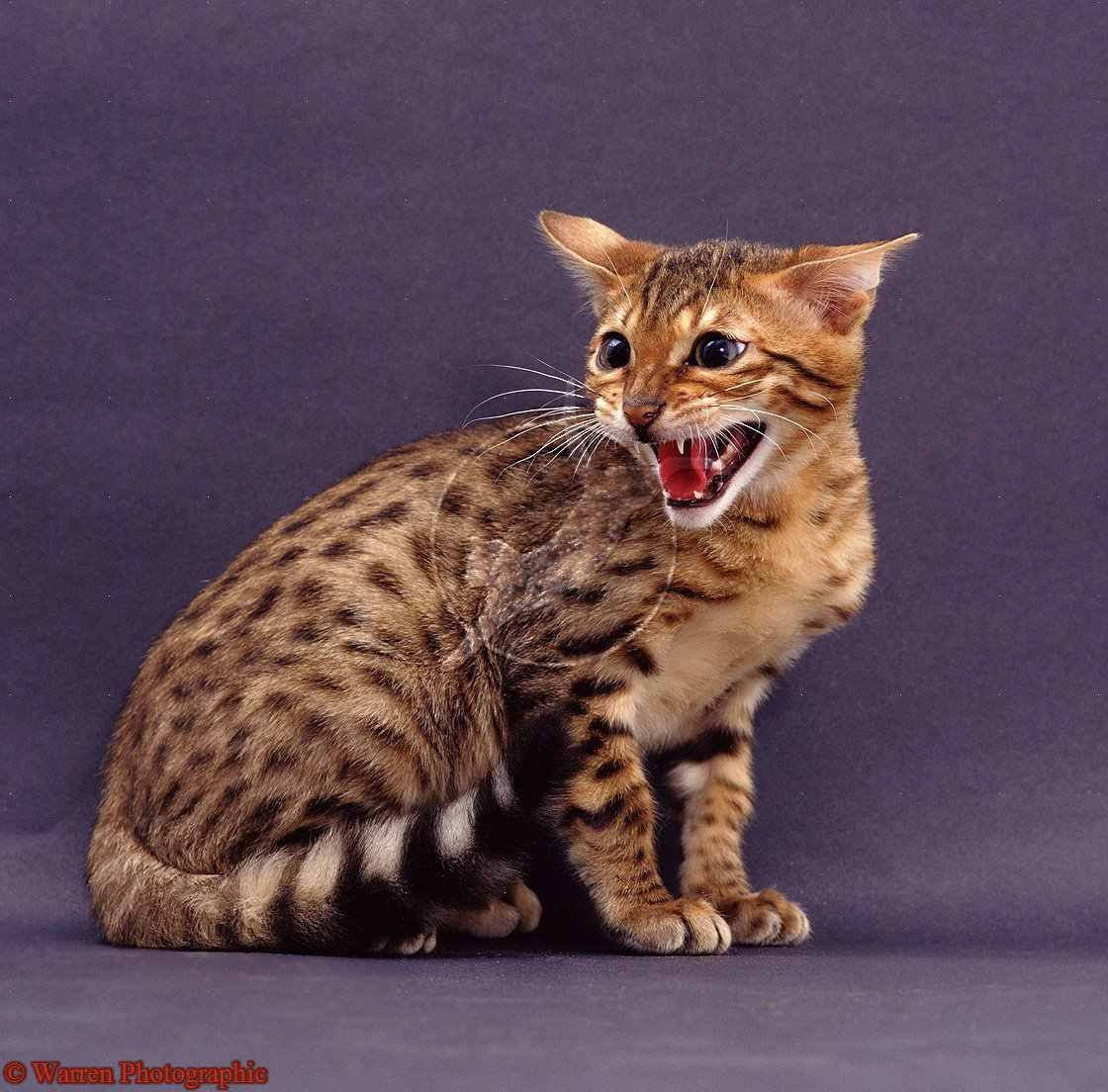 Bengal Most Expensive Cats | cats | Pinterest | Bengal and Cat