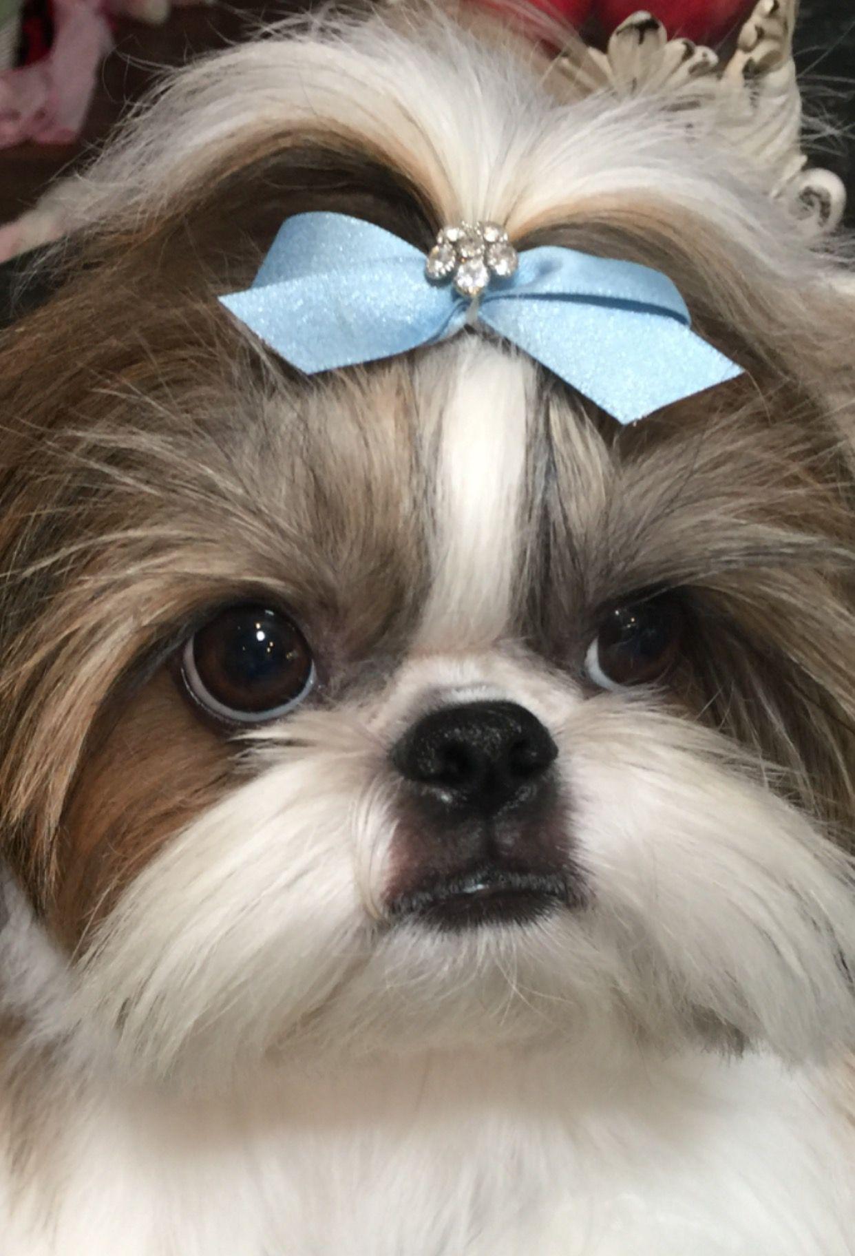 My Sweet Girl With Images Shih Tzu Puppy Shih Tzu Shih Tzus