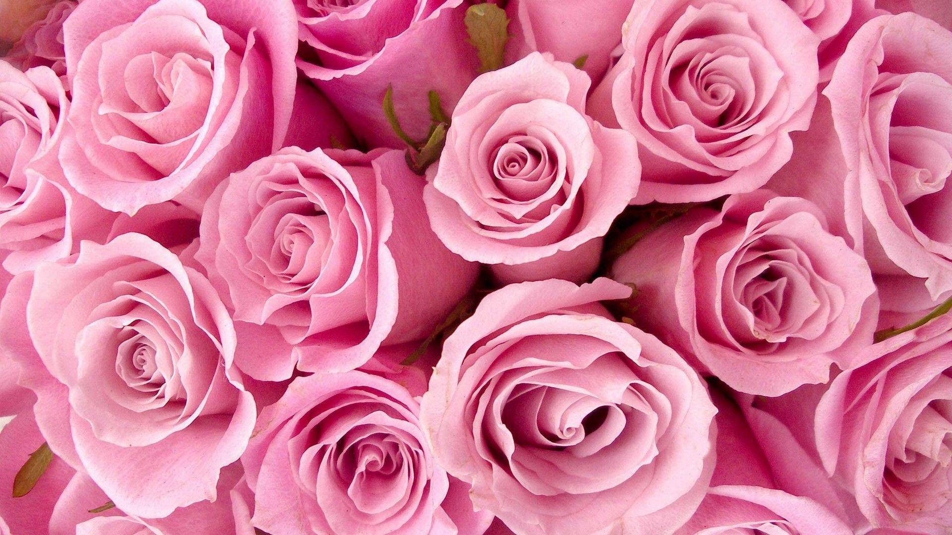 Rose Pink Flower Wallpaper Hd Best Hd Wallpapers Wallpaperscute