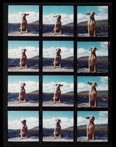 For the love Weimaraners: Fay on the Dock, by  William Wegman - 20x200.com