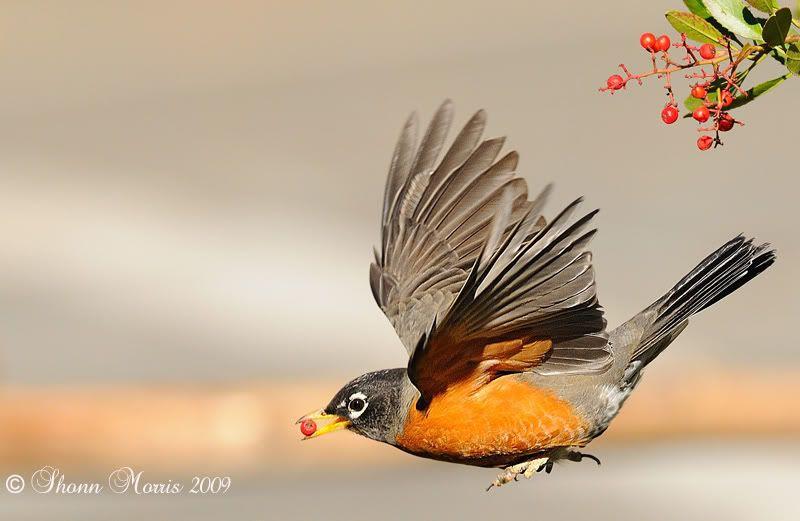 american robin bird flying - photo #9
