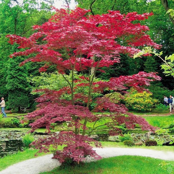 Acer palmatum bloodgood   1 arbre achetez en ligne sur internet ...