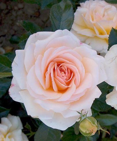 Ruža 'Bordüre Champagne'