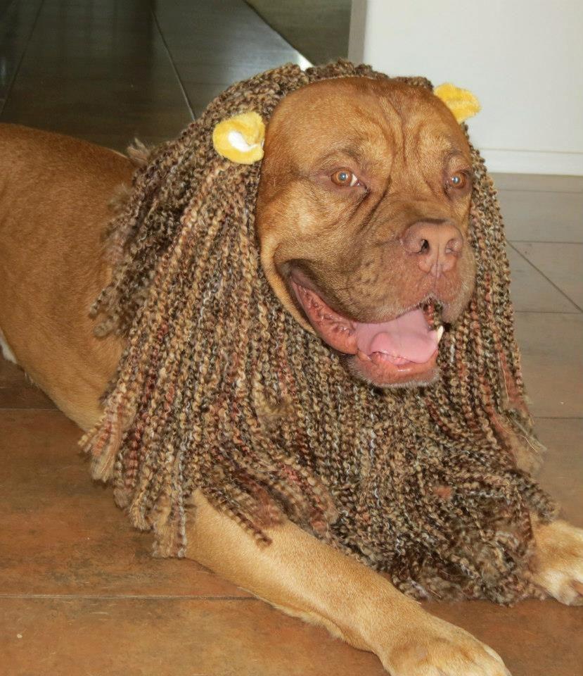 Dog Lion Mane Halloween Costume Bordeaux Dog Dogs Mastiffs
