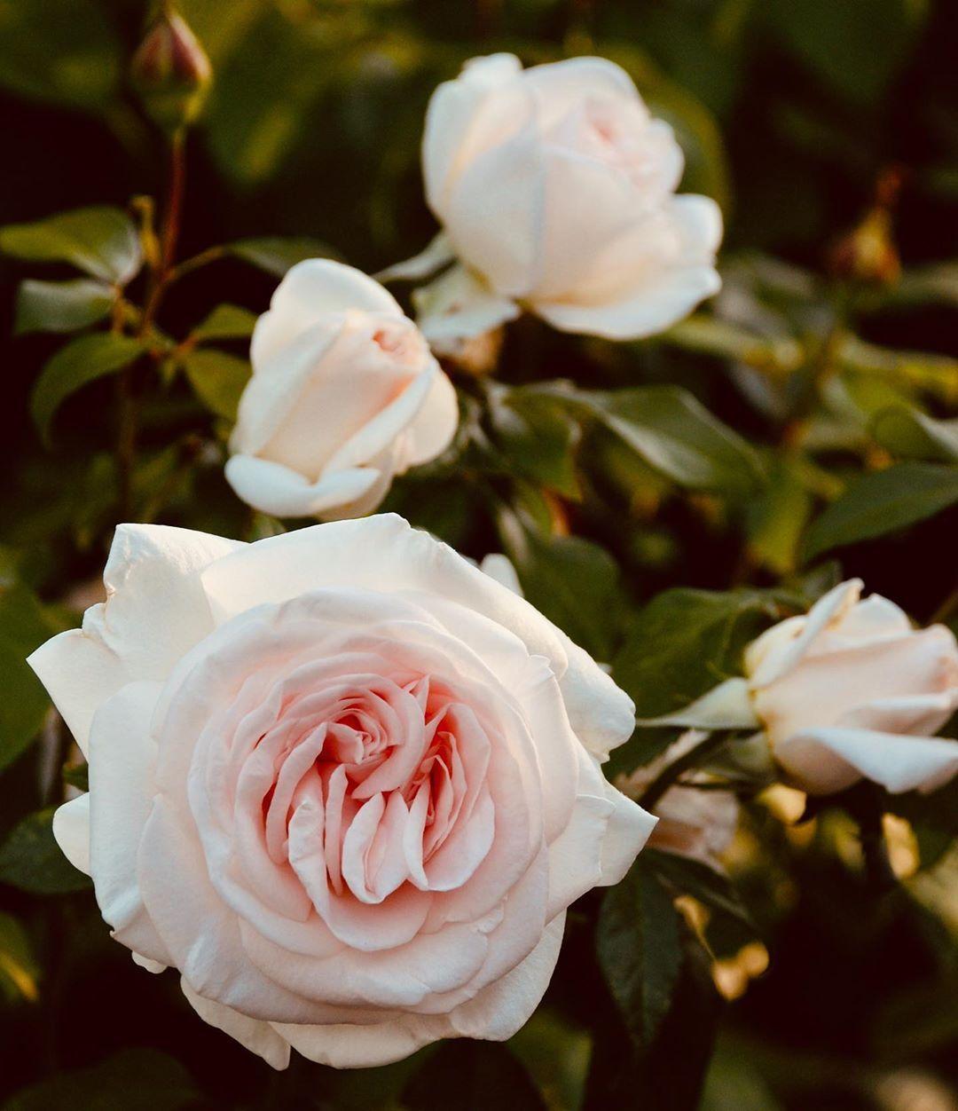 Rosier Prince Jardinier Meitroni Rosier Grandes Fleurs