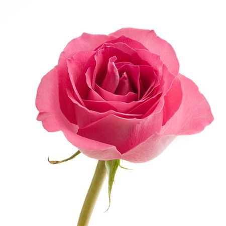 Pink Rose Flower Meaning
