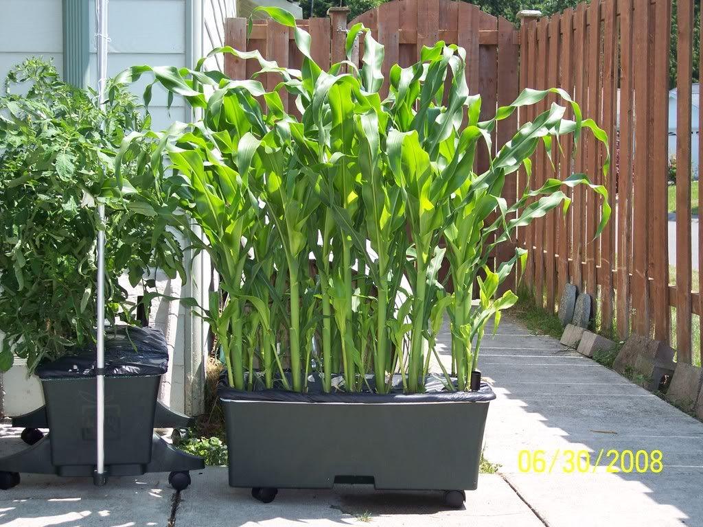 corn in trough