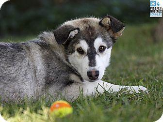 Pin By Damek Jones Godina On Dogs Up For Adoption Husky Adoption