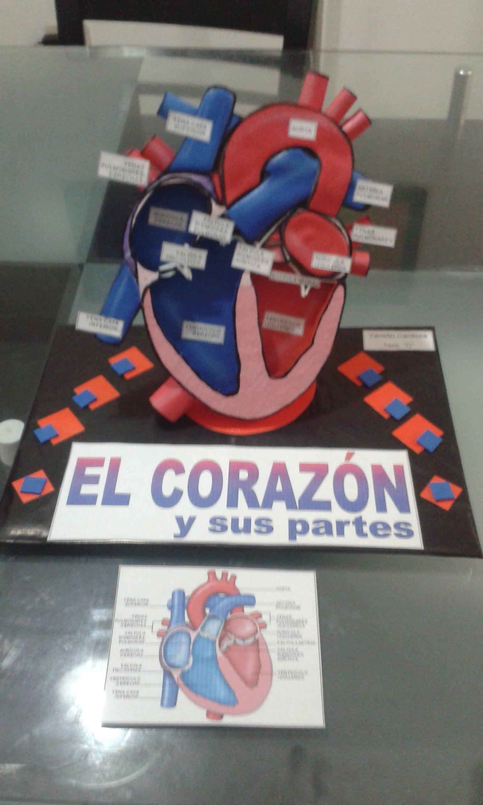 El Corazón Corazon Maqueta Sistema Del Cuerpo Humano Material Didactico Primaria