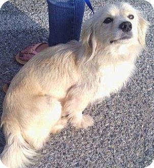 Thousand Oaks Ca Cocker Spaniel Pomeranian Mix Meet Glenda A