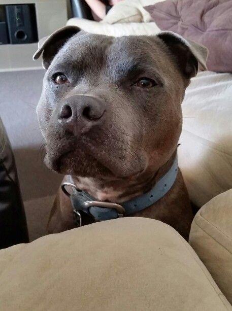 English male staffordshire bull terrier.  Beautiful boy. 4 years old. #pedigree #staffy #bully #blue
