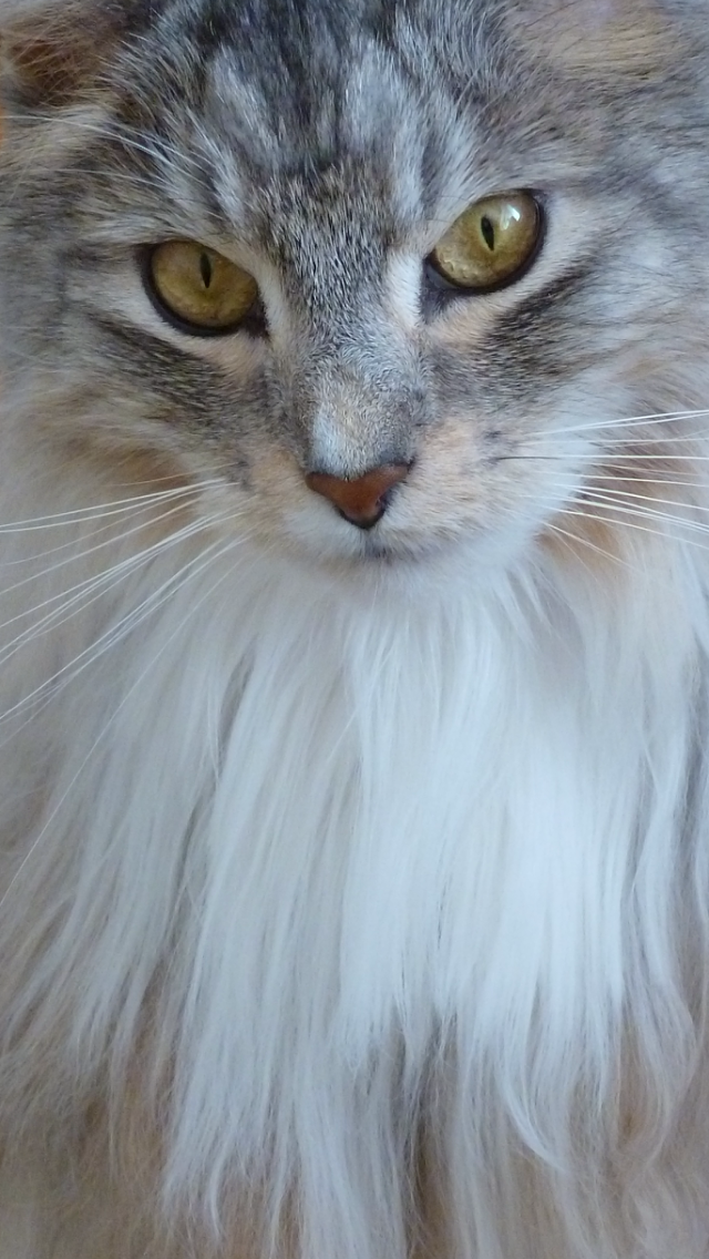 Pin on Majesticoon Serefina. Maine Coon Cat