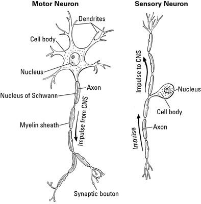 A motor neuron carries signals away from the central