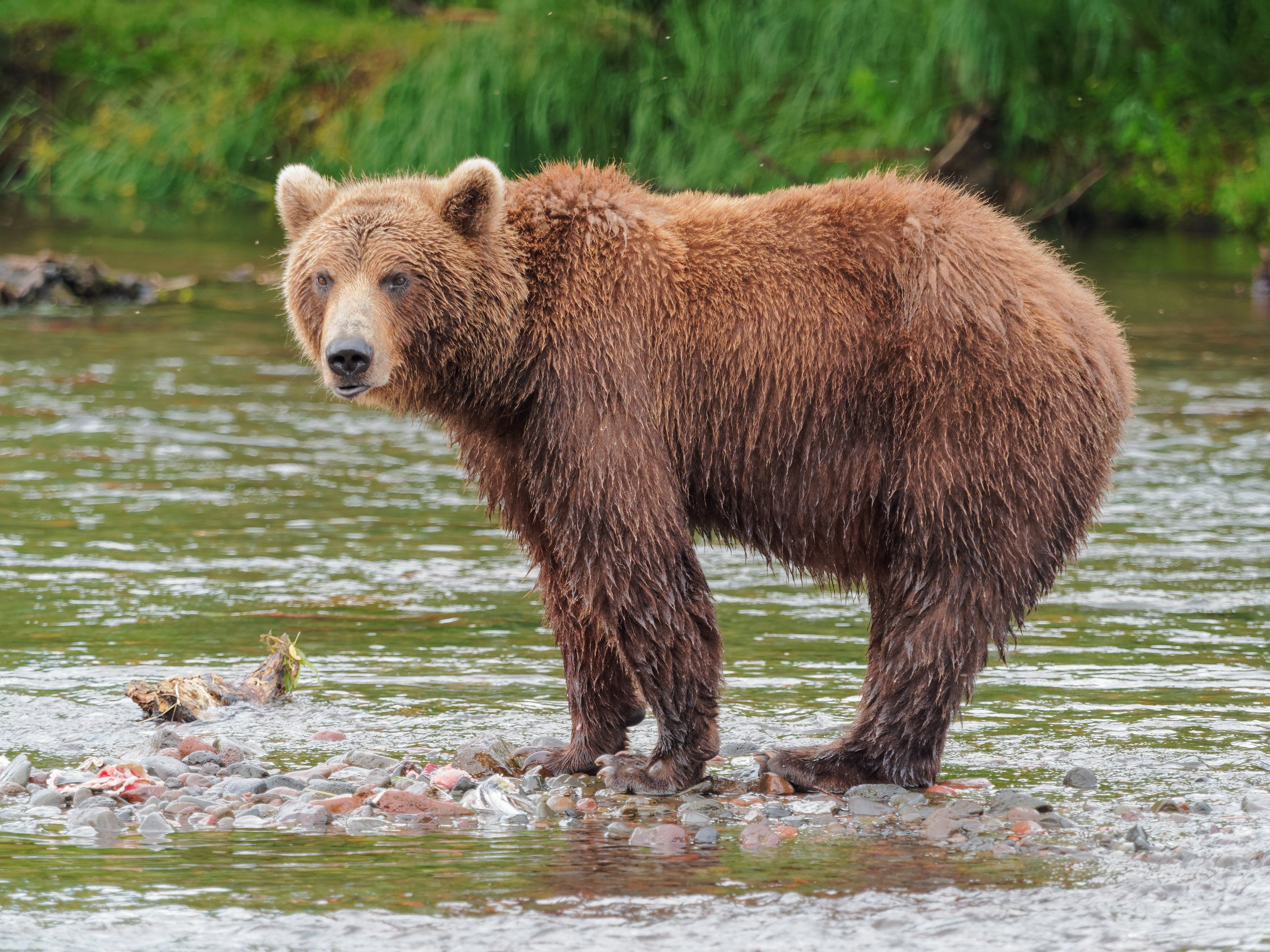 How To Make Brown Food Coloring New Brown Bear Brown Bear Bear