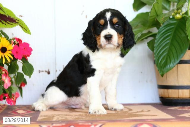 English Springer Spaniel Puppy for Sale in Pennsylvania