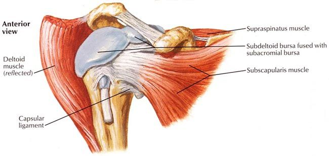 shoulder joint capsule tissue picture | To get to the joint ...