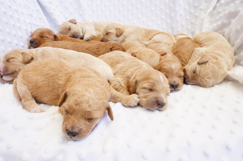 F1b Mini Goldendoodle Puppies 10 Days Old Www Doodlesandmore Com