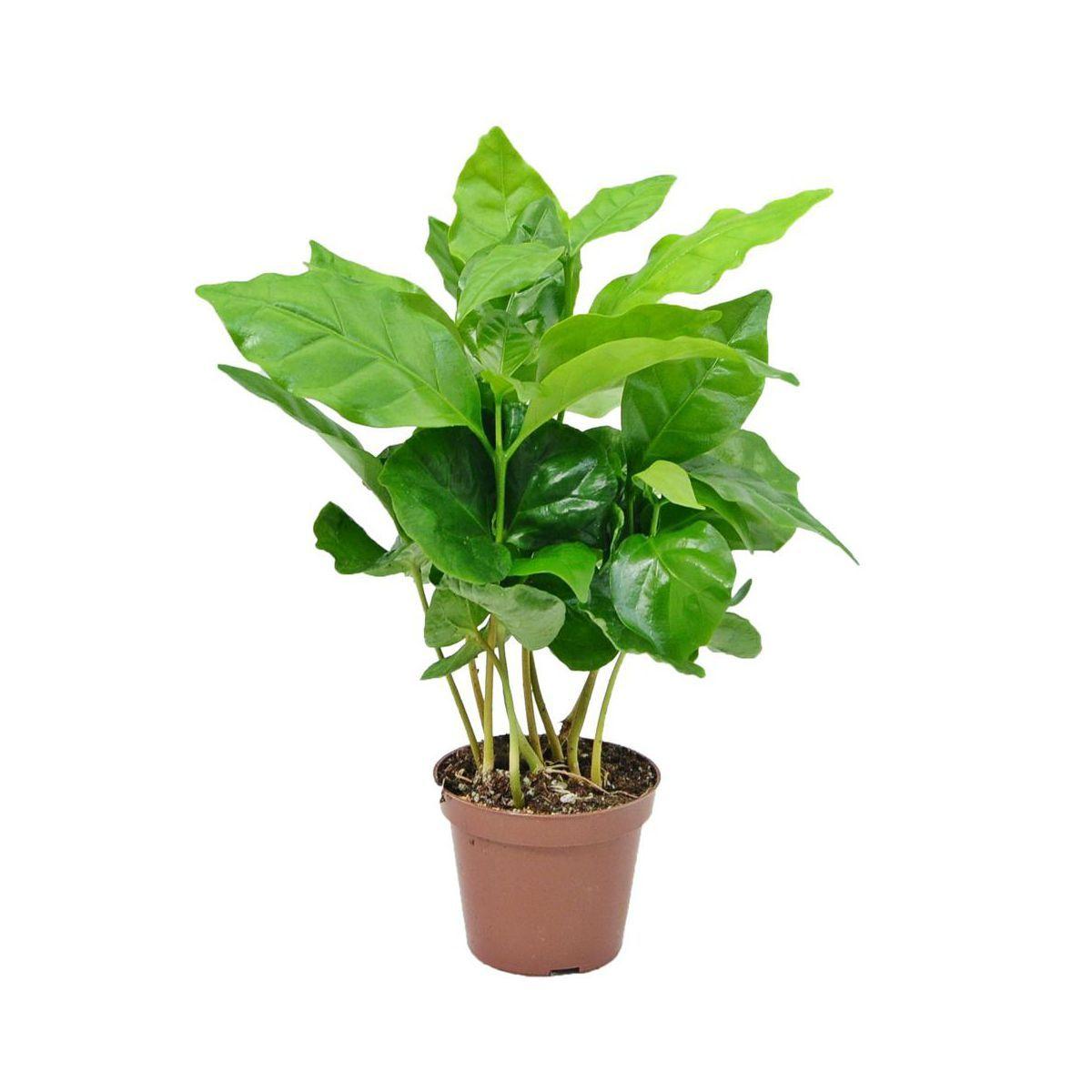 Kawa Coffea Arabica 15 Cm Kwiaty Doniczkowe W Atrakcyjnej Cenie W Sklepach Leroy Merlin Coffea Arabica Plants Coffea