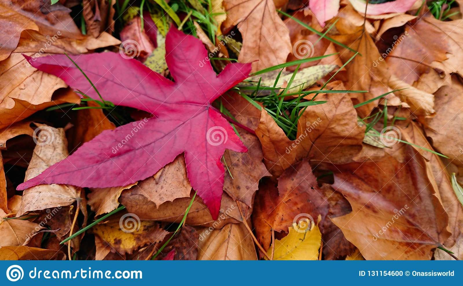 Photo About A Fallen Red Leaf Hovering Above Golden Dry Leaves Image Of Plant Colored Colors 131154600 Fall Red Leaves Dry Leaf Red Leaves