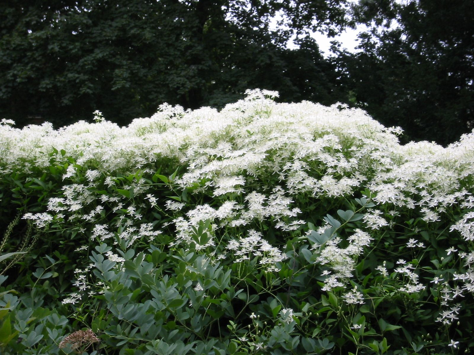 Sweet Autumn Clematis Very Vigorous Masses Of White Fragrant